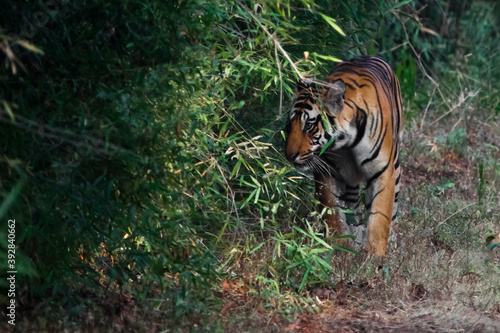bengal tiger in the Bandhavgarh park, india Canvas Print