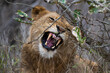 Portrait of a young male lion baring his teeth as he growls at intruders