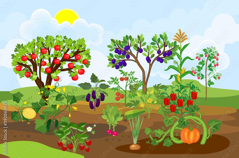 Fototapeta Harvest time. Landscape with vegetable garden. Different vegetable and fruit agricultural plants with ripe harvest