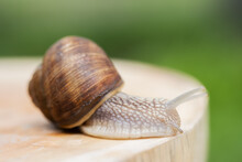 Snail Crawling On A Wooden Rou...