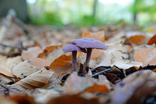 Laccaria Amethystina, Commonly...