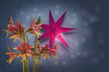 """Hippeastrum (amarillis) Green And Red  Butterfly Group """"Mystica""""  And Red Paper Lightning Lantern In Star Form  (mass Production)"""