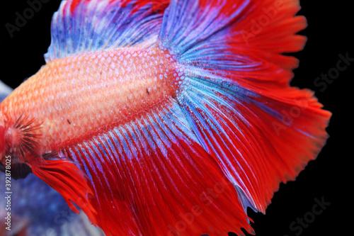 Fotografiet siam betta fighting fish