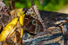 Butterfly Of Costa Rica