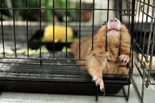 Black-tailed Prairie Dog In Zoo Cage