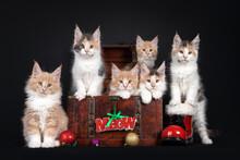Litter Of Six Maine Coon Cat K...