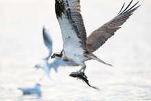 Osprey Bird Catch Fish In A Lake