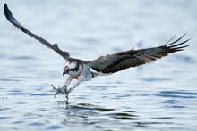 Osprey Bird On Its Way To Catc...