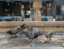 Pigeons En Train De Manger Sur...