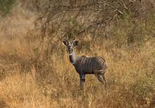 Bushbuck, Bosbok, Tragelaphus ...
