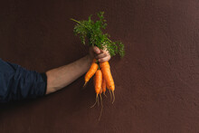 Human Hand Holds Freshly Picked Carrots