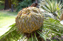 Close-up Female Cone Of A Sago Palm (Cycas Revoluta) In Tropical Park