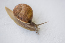 Land Snail On White Wall