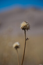 Dried Thistle At The Dunes