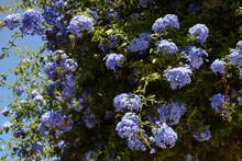 Blue Plumbago Auriculata / Cape Leadwort Flowers