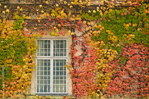 wall with rustic window and colorful creeper foliage autumn season Canvas Print