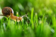 Beautiful Lovely Snail In Gras...