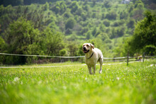 Golden Retriever Runs At Summer.