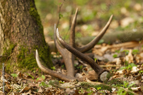 Photo Red deer shed fallen down on leaves by a tree in forest