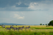 Several Zebras Walk In The Plains Of Africa Under A Stormy Sky