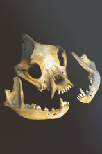 Dog Remains Skull And Jaw