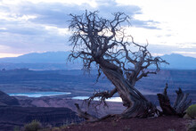 Old Juniper Tree Overlooking Canyonland Nat'l Monument At Sunrise