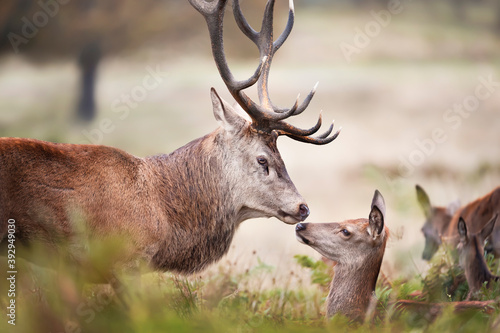 Fototapeta Close up of a Red deer stag with a hind during rutting season