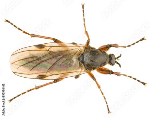 Fototapeta Bibio, march flies or St
