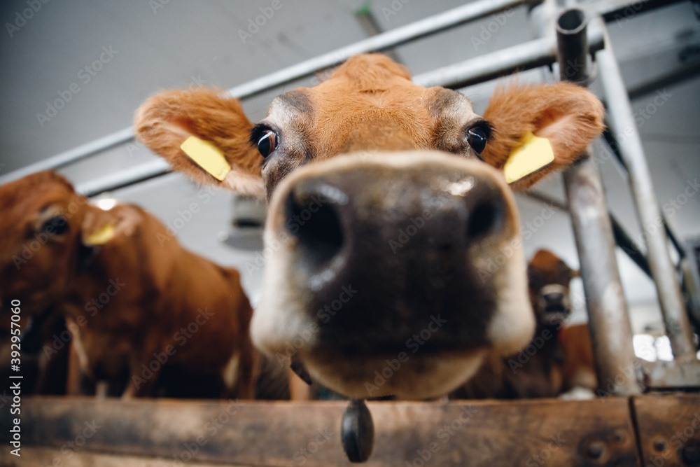 Fototapeta Close up of large wet nose of red cow
