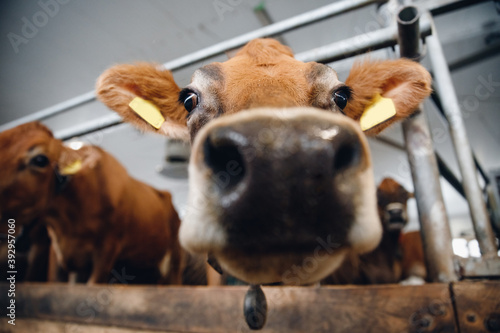 Obraz Close up of large wet nose of red cow - fototapety do salonu