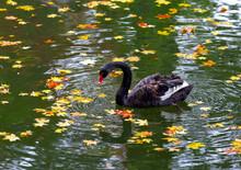 Black Swan In The Autumn Pond.