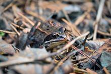 Portrait Of An Earthen Frog In...