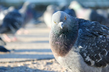 Blue-colored Pigeons Gather In...
