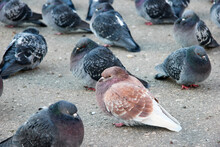 The Brown Pigeon Lives In A Fl...