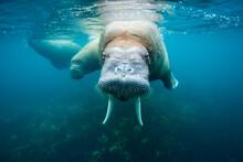 Underwater Walrus, Svalbard