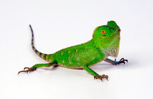 Chameleon Forest Dragon // Cha...