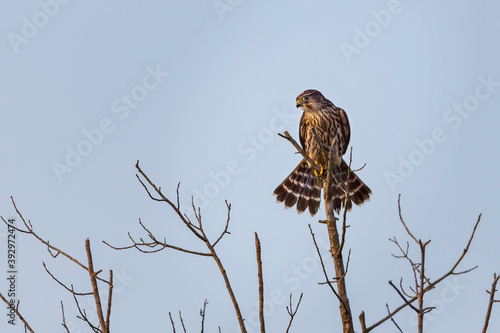 Photo Female Merlin perched on top of bare tree top scanning ground
