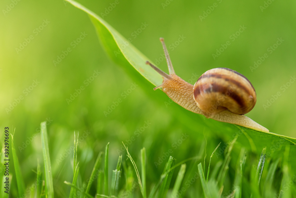 Fototapeta Beautiful lovely snail in grass with morning dew.