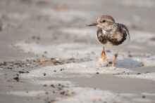 A Ruddy Turnstone Walking Along The Beach