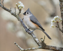 A Tufted Titmouse Perched In A Plum Tree