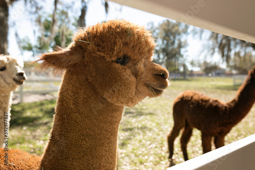 Fototapeta premium Light brown young alpaca looking through fence, other alpacas in back