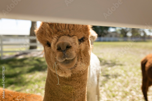 Fototapeta premium Young brown alpaca peeking behind fence at Golden Spirit Alpaca Farm