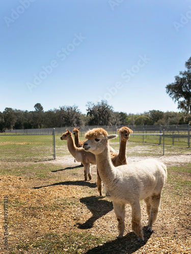 Fototapeta premium Four Huachaya alpacas standing in a field, blue sky and sunny