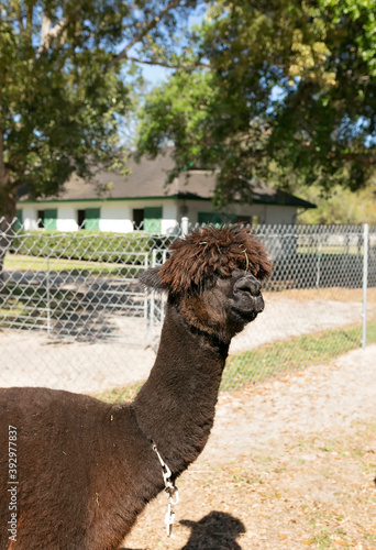 Fototapeta premium Dark brown Huachaya alpaca at farm standing in sun