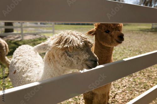 Fototapeta premium Two young alpacas looking through white fence