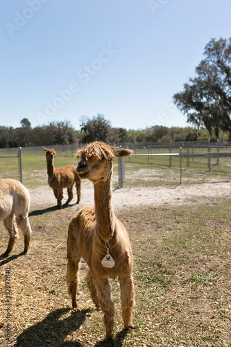 Fototapeta premium Two Suri alpacas at alpaca farm in a field, blue sky and sunny
