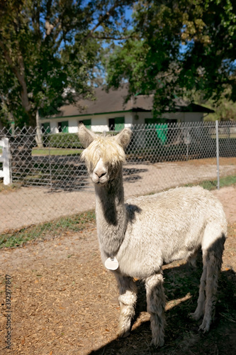 Fototapeta premium White Sure alpaca at alpaca farm looking at camera