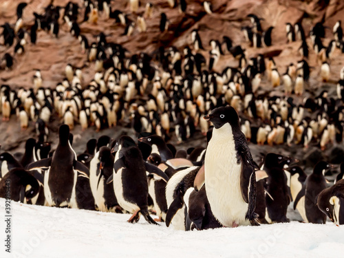 Photographie Densely populated colony of Adelie penguins in Antarctica