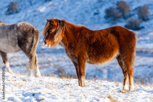 Fotografering Wild mountain ponies in a snowy, winter landscape