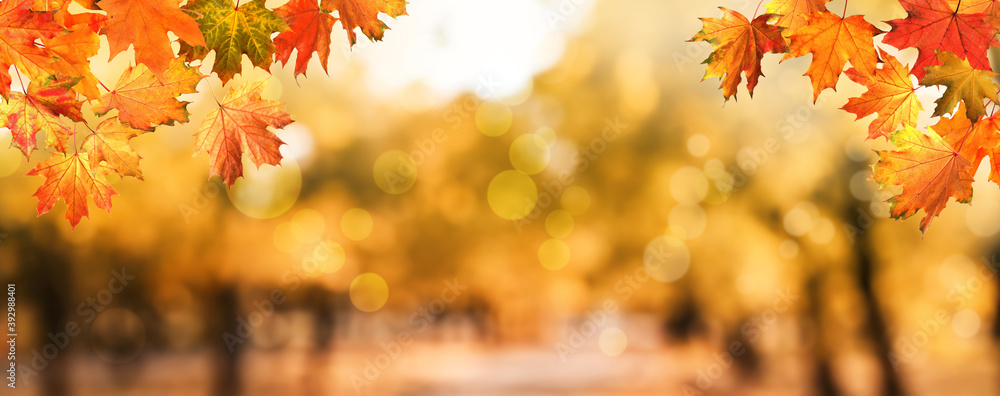 Fototapeta Beautiful colorful autumn leaves and blurred park background. Banner design